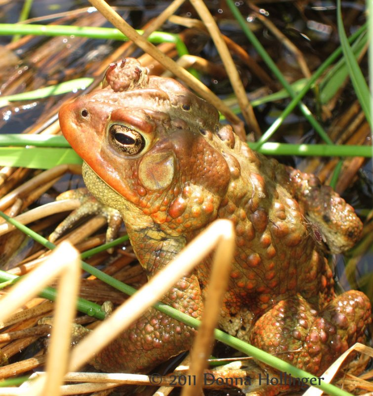 American Toad with Midges Feeding