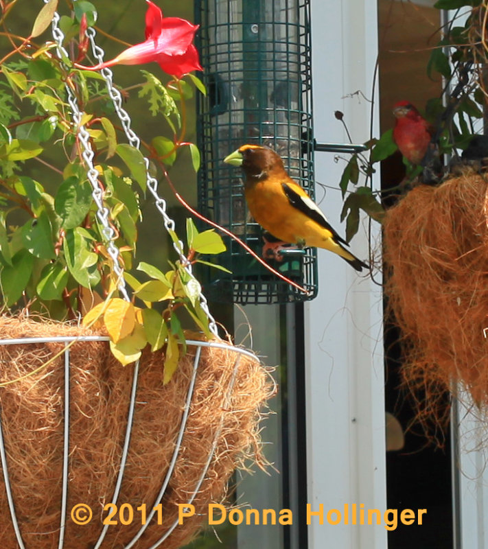 Evening Grosbeak Male on our Deck Feeder