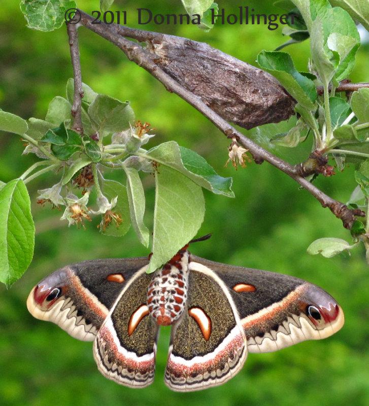 Mrs. Cecropia Moth