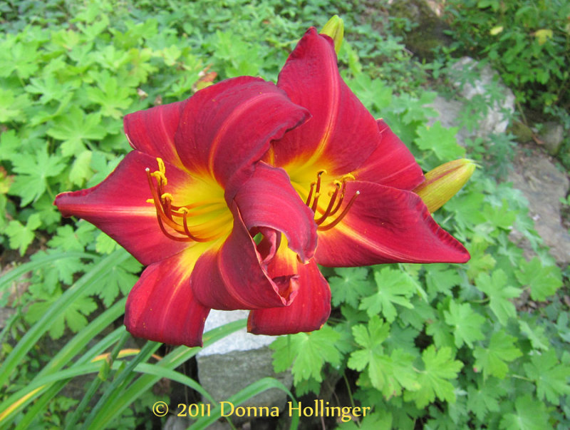 Twin Daylillies