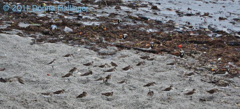 Ruddy Turnstone and  peeps