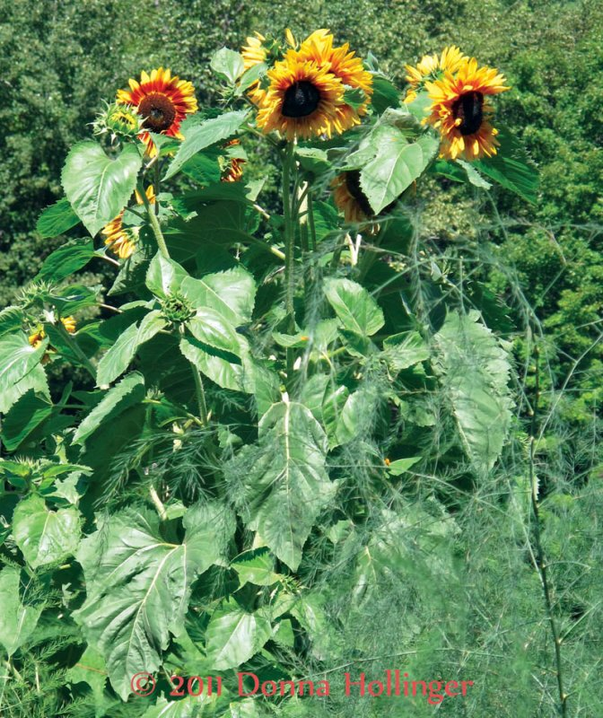 Yellow and Red Sunflowers