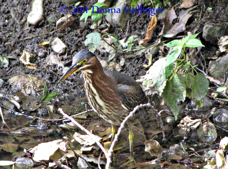 Night Heron in Spectacle Pond