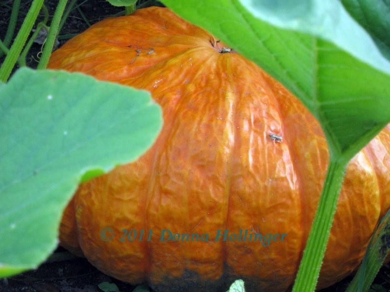 The Great Pumpkin in My Patch
