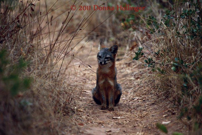 Santa Cruz Prisoners Cove Fox