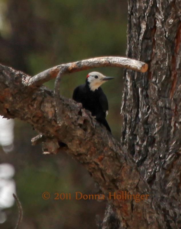 White Headed Woodpecker (Male)