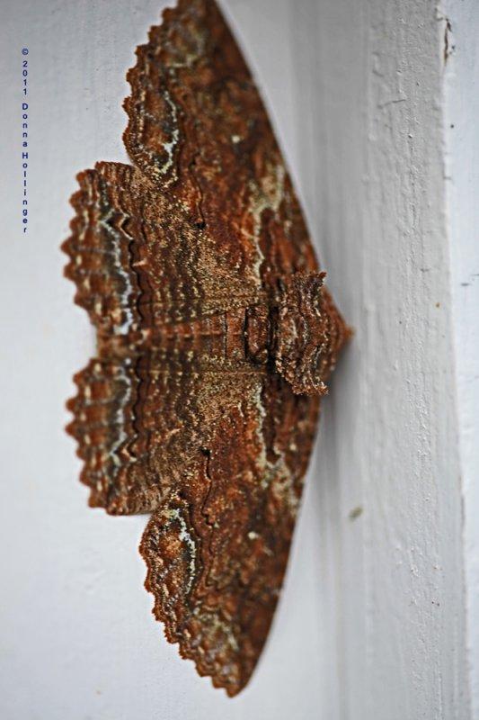 Zale Moth today on garage window