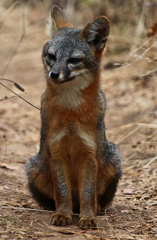Endemic species of fox particular to Santa Cruz Island