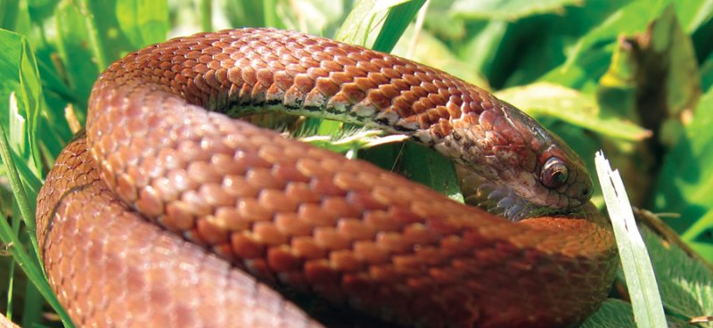 Mature Northern Red Bellied Snake