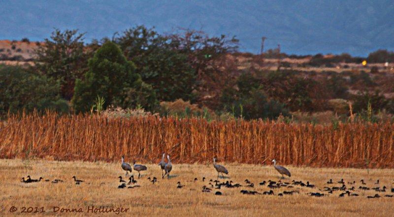 SandHill Cranes and ducks blackbirds etc