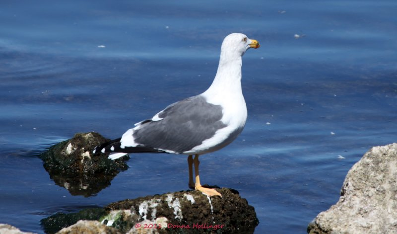 Endangered Yellow Footed Gull