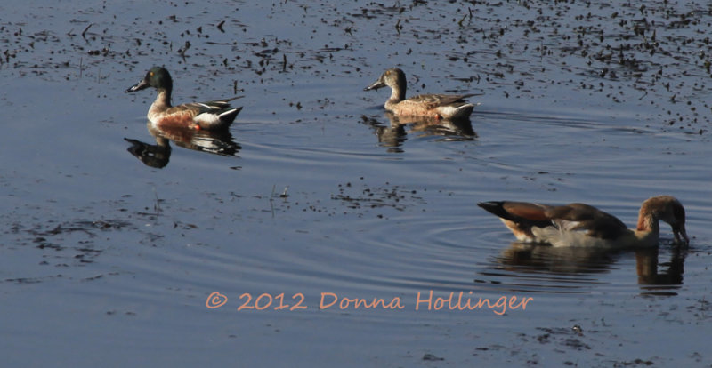 Male and Female Shoveler Ducks and an Egyptian Goose
