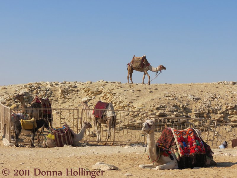 Camels near the pyramids