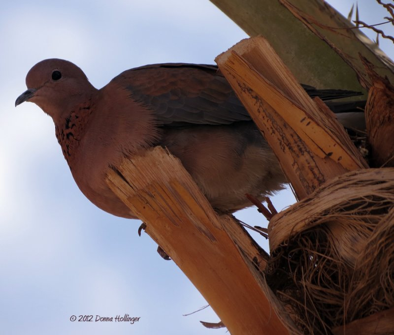Laughing Pigeon Watching Us from a Date Palm