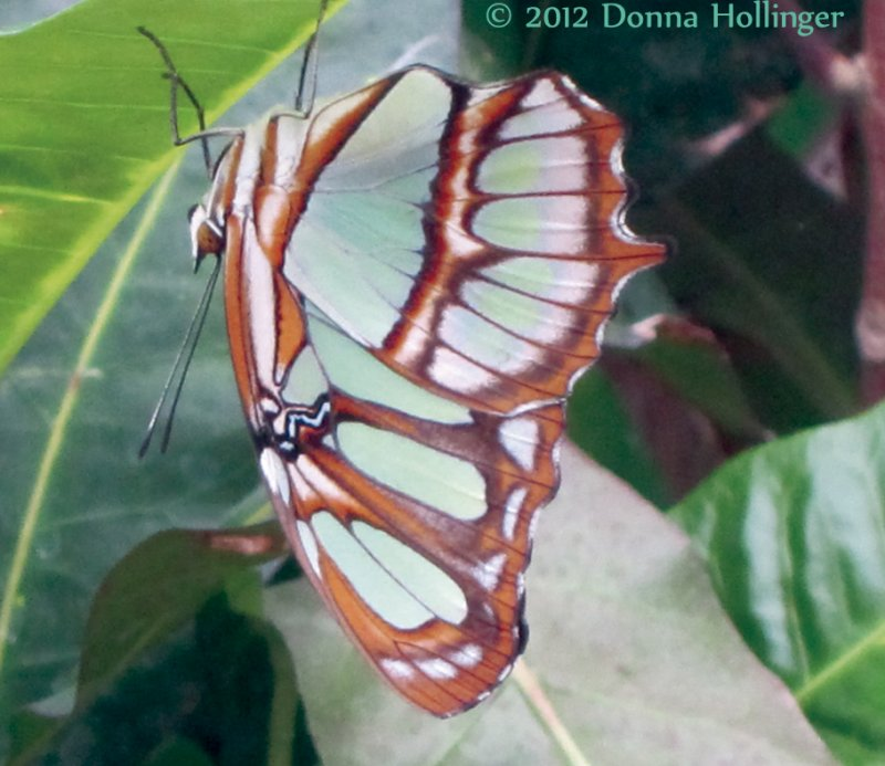 Malachite Butterfly at Mariposario