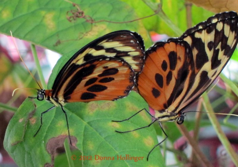 Heliconius Butterflies Mating