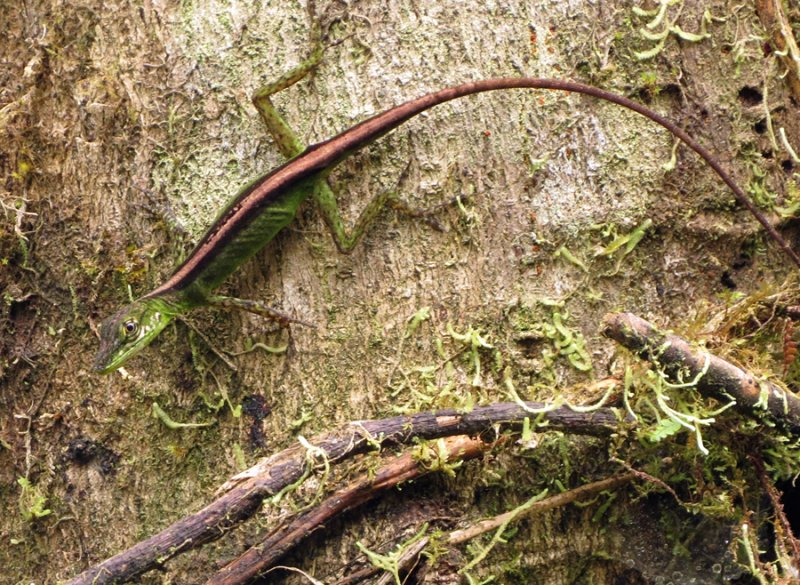Anoli Lizard disappearing into the tree the bark