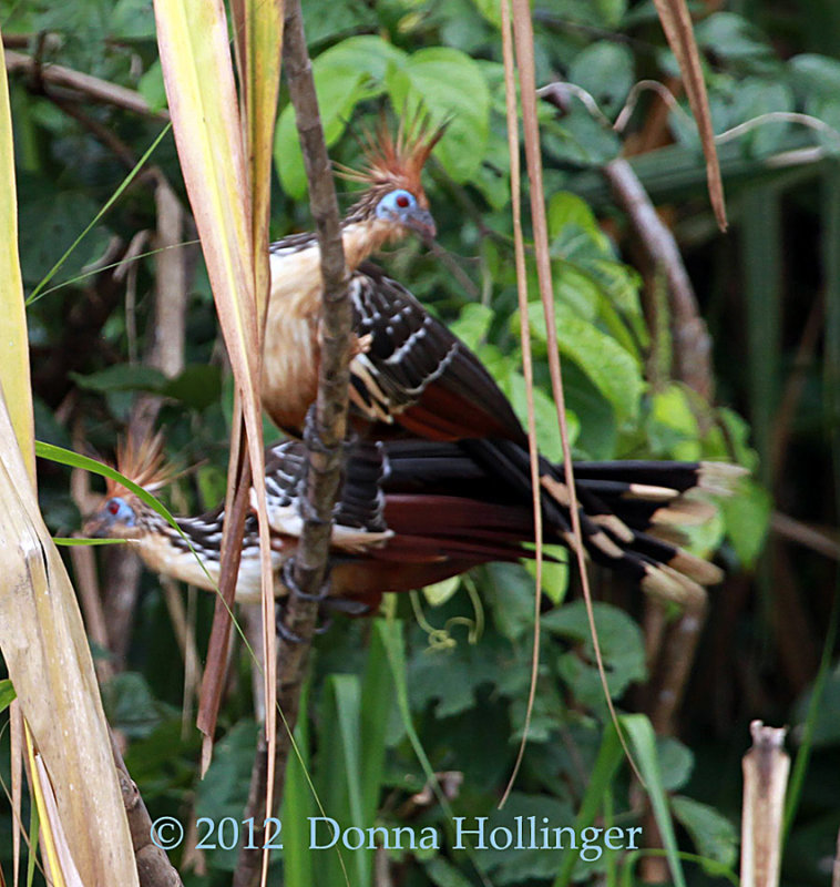 Befuddled Hoatzin