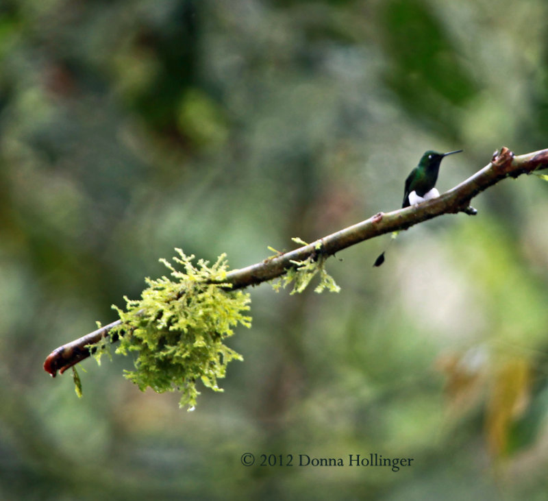 Lovely Booted Racquet-tail Hummer
