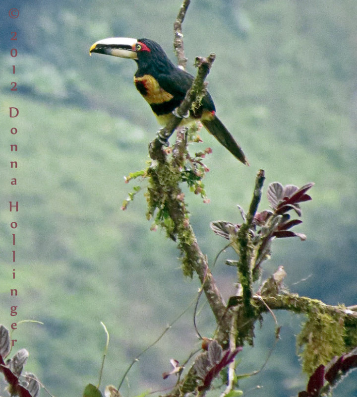 Pale-Mandibled Aracari