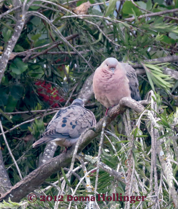 Eared Doves from my Deck