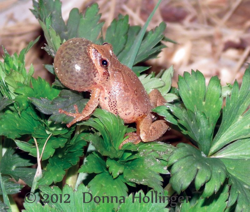 Spring Peeper in Mating Mode