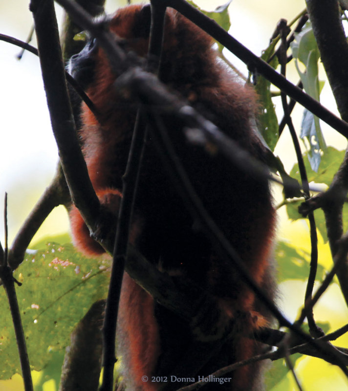 Red Howler Monkey Moving Through Canopy