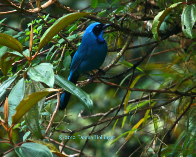 Black Collared Jay (Cyanolyca armillata)