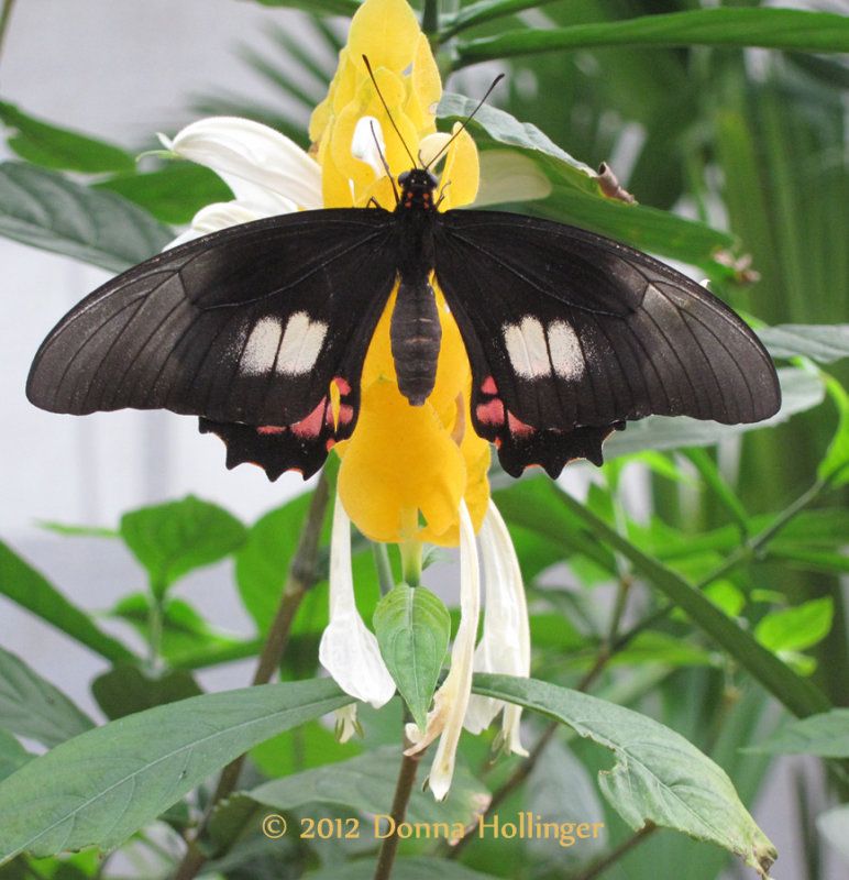 Heliconius Butterfly on a Zebra plant