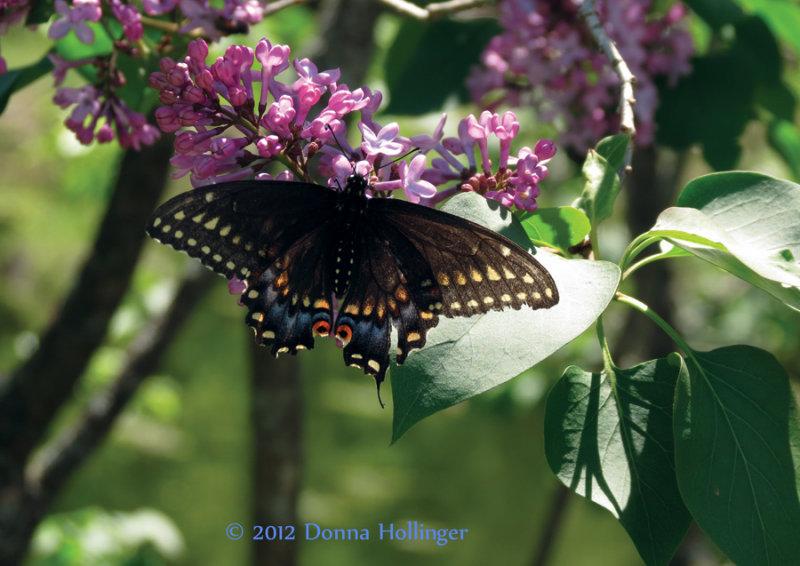 Black Swallowtail on Lilac