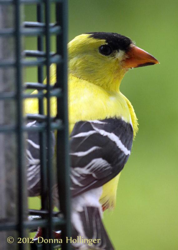 Male Goldfinch