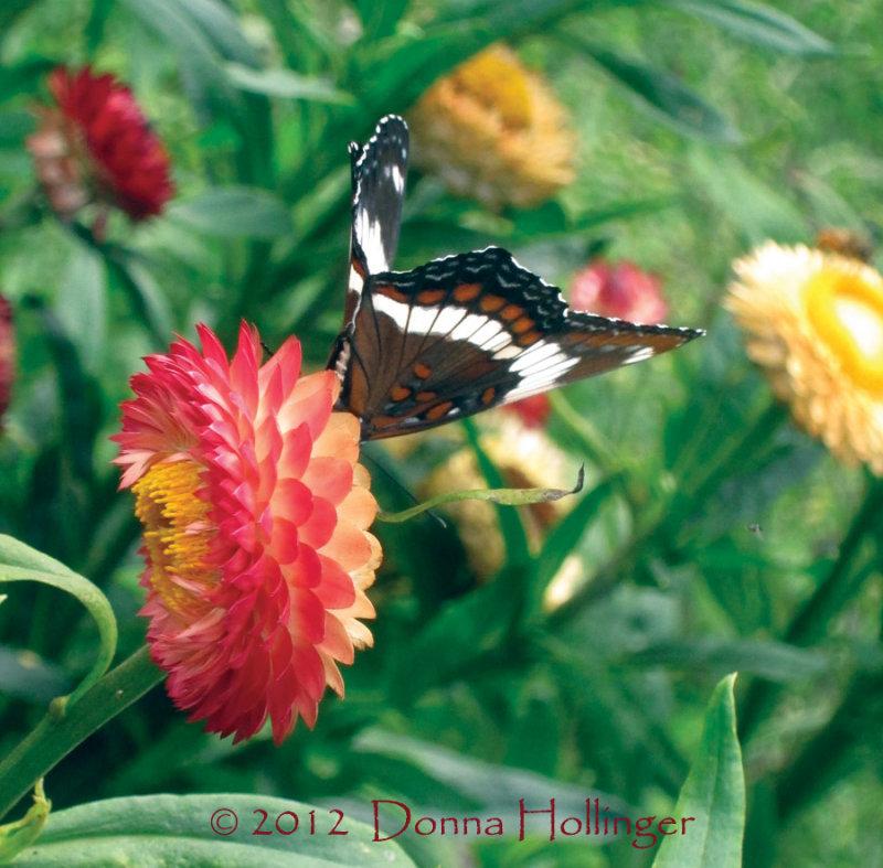 Strawflower and Limentis Arthemis