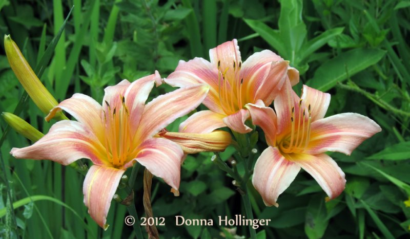 DayLillies by Dierdre Dennis