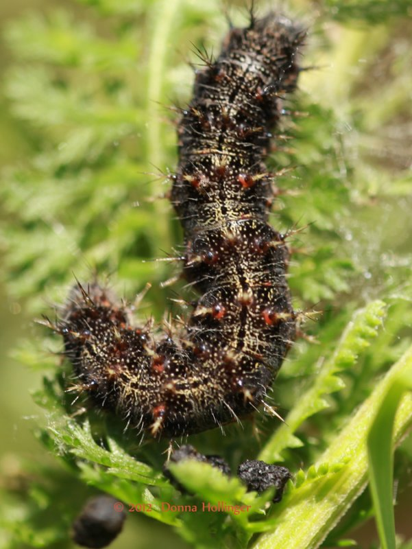 Mounring Cloak Caterpillar?
