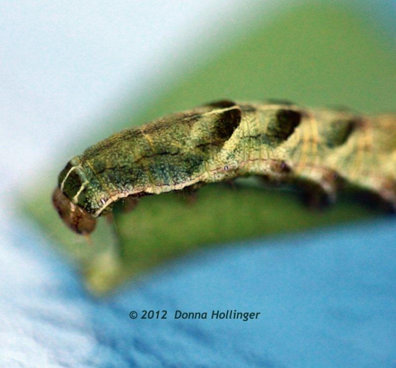 Chevroned Caterpillar