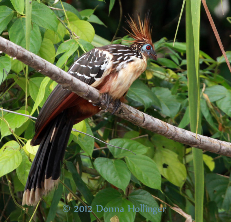 Hoatzin on the River Bank