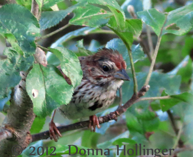Baby Song Sparrow