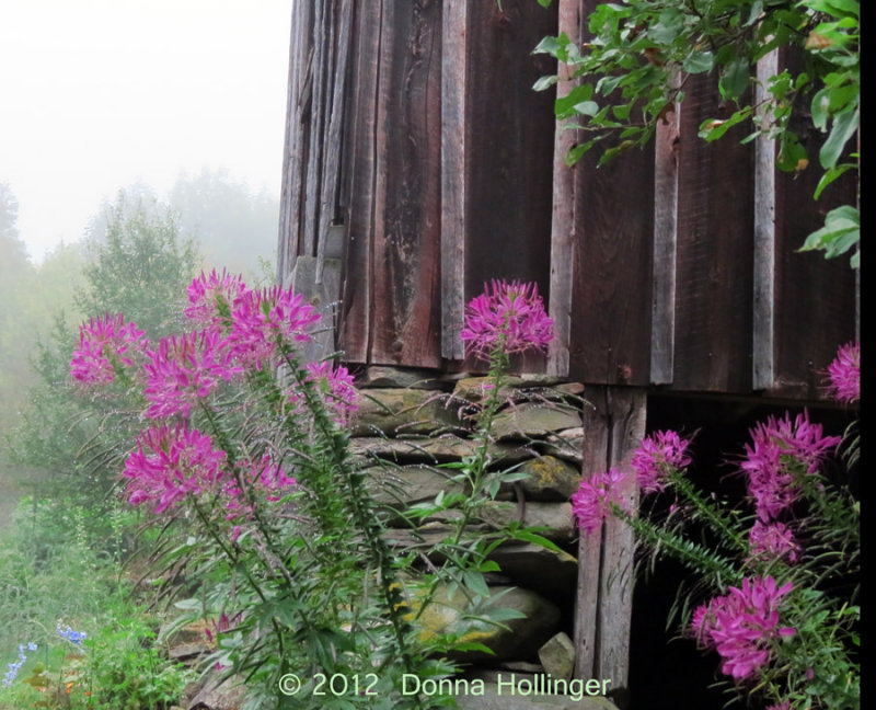 Fog and Cleome