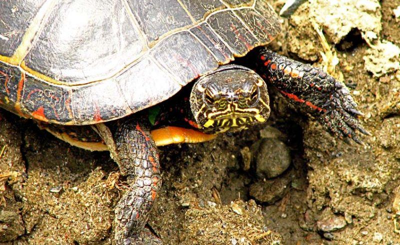 Painted Turtle Head On