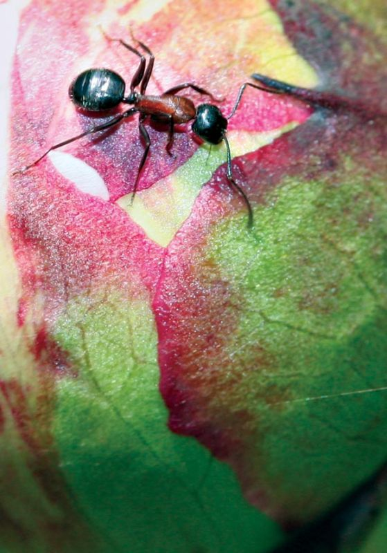 The ant and the peony