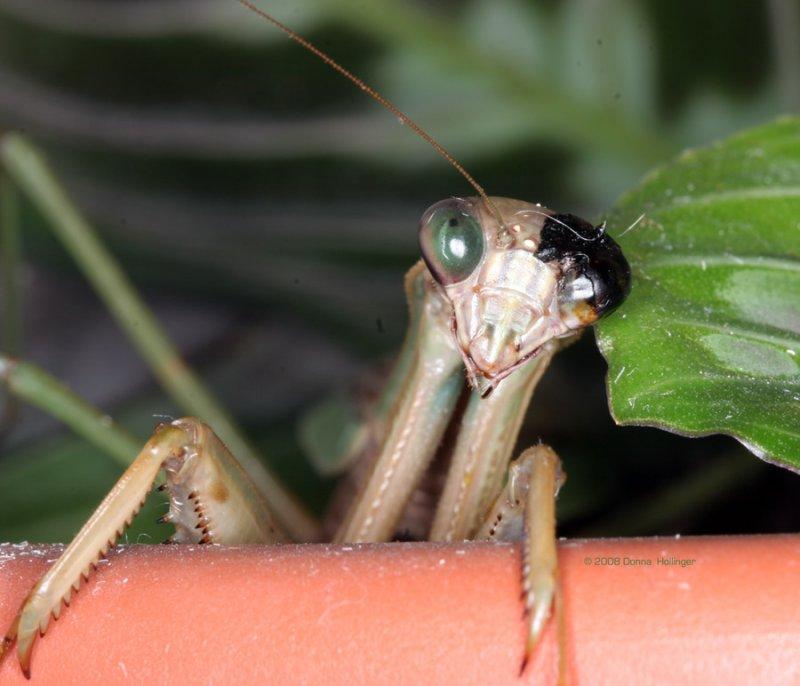 Our Pet Praying Mantis