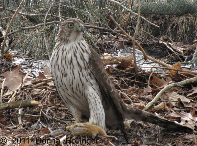 Cooper's Hawk Guarding His Chipmunk