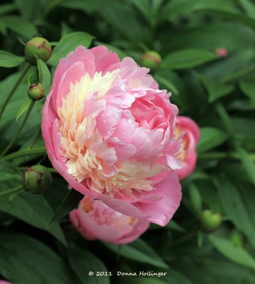 There are three different colors in this peony