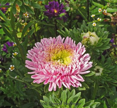 Chrysanthemum at Crossroads