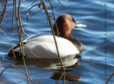 Male Canvasback Duck at Fresh Pond