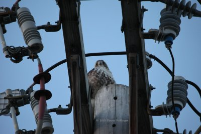 In the Hardware, Young Redtailed Hawk