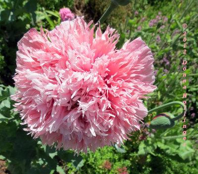 Anita's Poppy