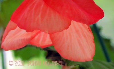 Anni's Begonia