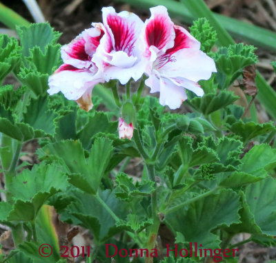 Red Geranium in the Driveway Garden