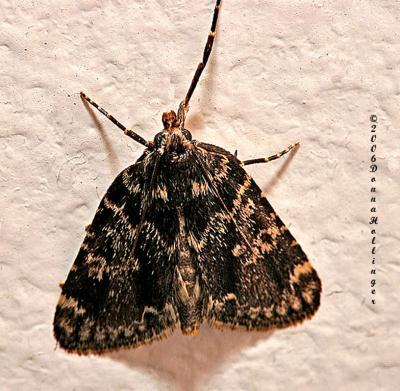 Moth Visitor